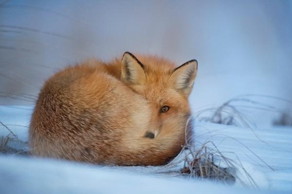 Image of a fox.